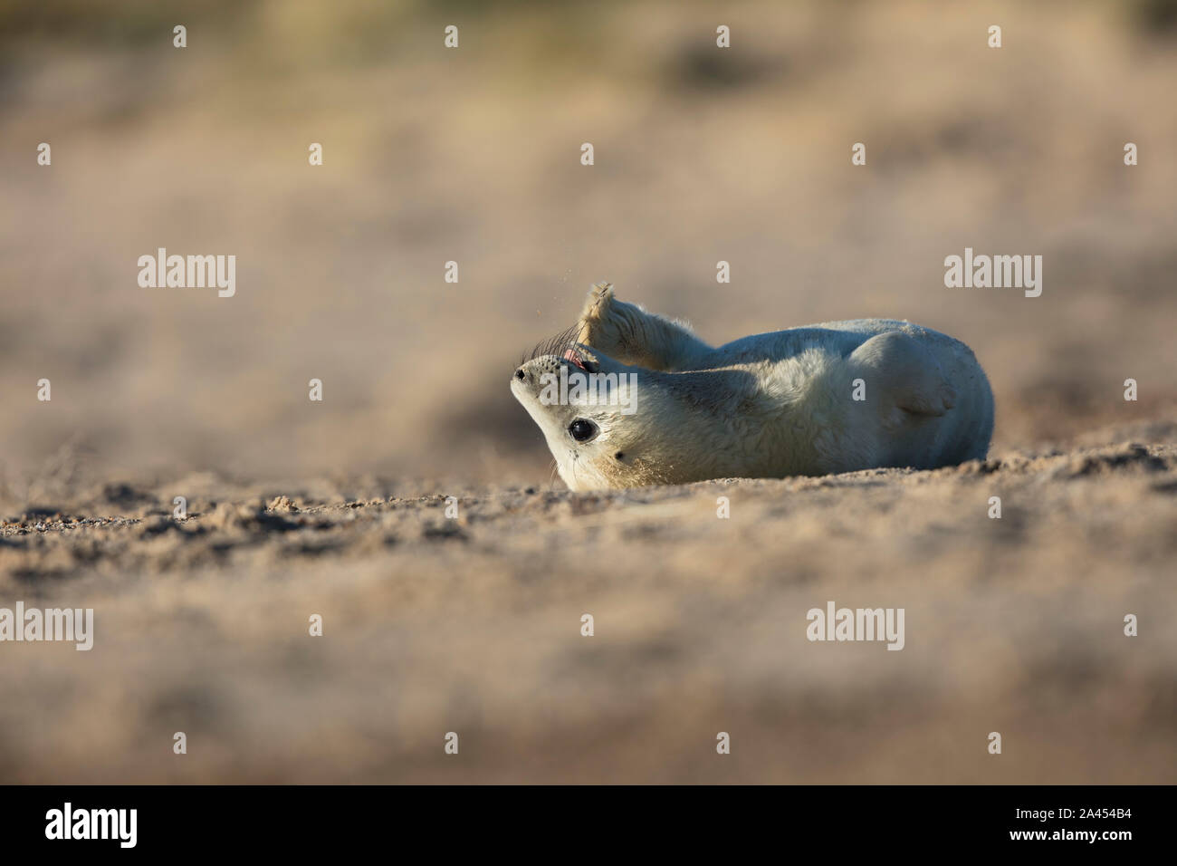 Young grey seal pup lying upside down on the beach playfully chewing its flipper on a beautiful sunny winter morning, Winterton on Sea, Norfolk Stock Photo