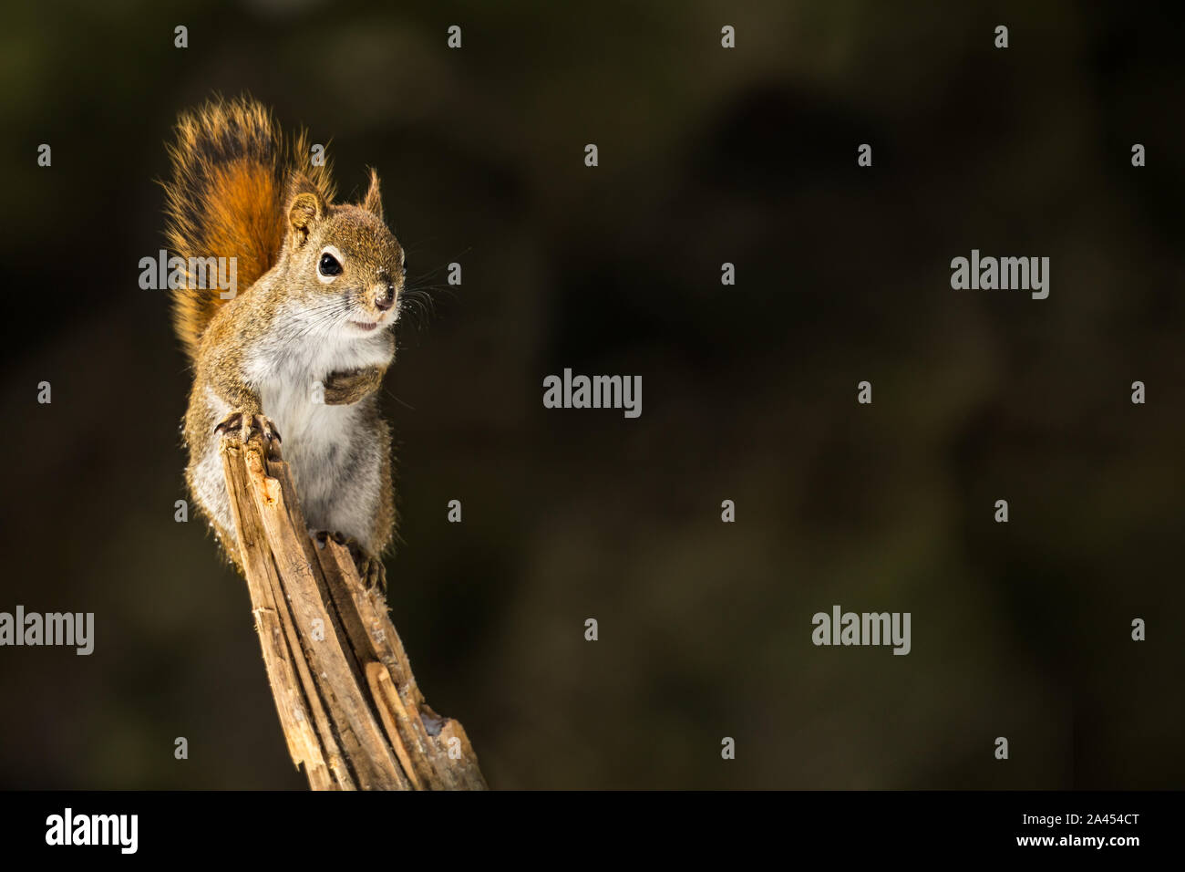 American Red Squirrel - Tamiasciurus hudsonicus, perched on a branch. making eye contact, snow flakes in it's face. Background is bokeh of pine trees. Stock Photo