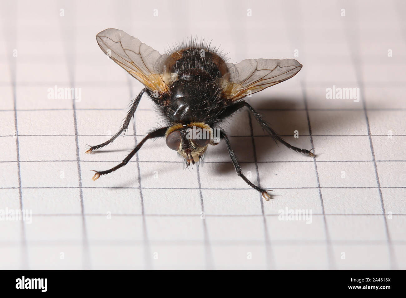 Macro shot of a fly from the family tachinidae. Stock Photo
