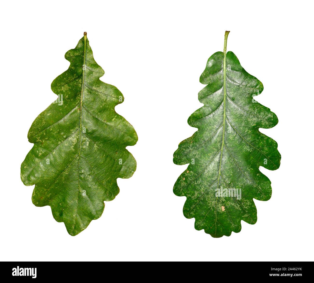 Hybrid Oak - Quercus x rosacea = Quercus robur x Quercus petraea Stock Photo