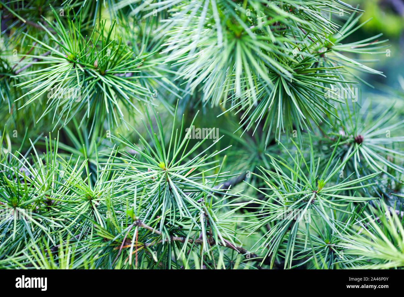 A close-up image of Japanese umbrella pine tree (Sciadopitys verticillata) Stock Photo