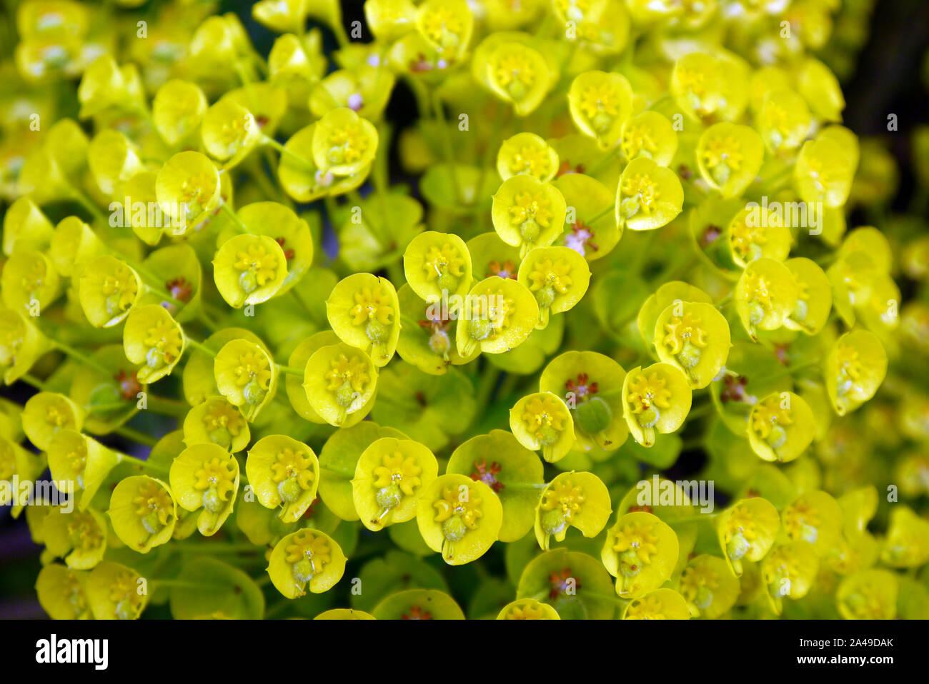 Wolfsmich Euphorbia polycroma