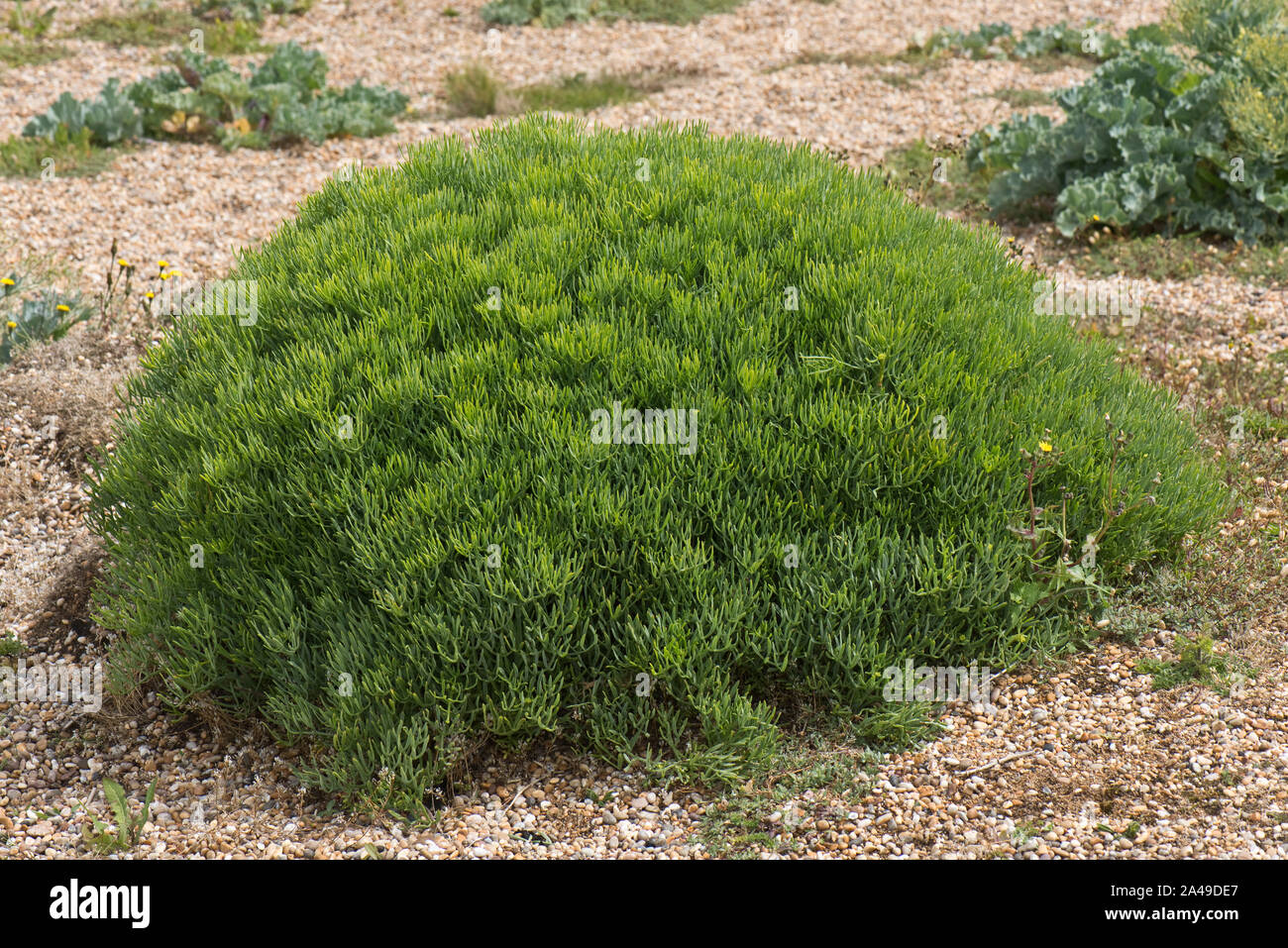 Rock samphire (Crithmum maritimum) dome shaped plant before flowering on shingle at Chesil Beach in Dorset, June Stock Photo