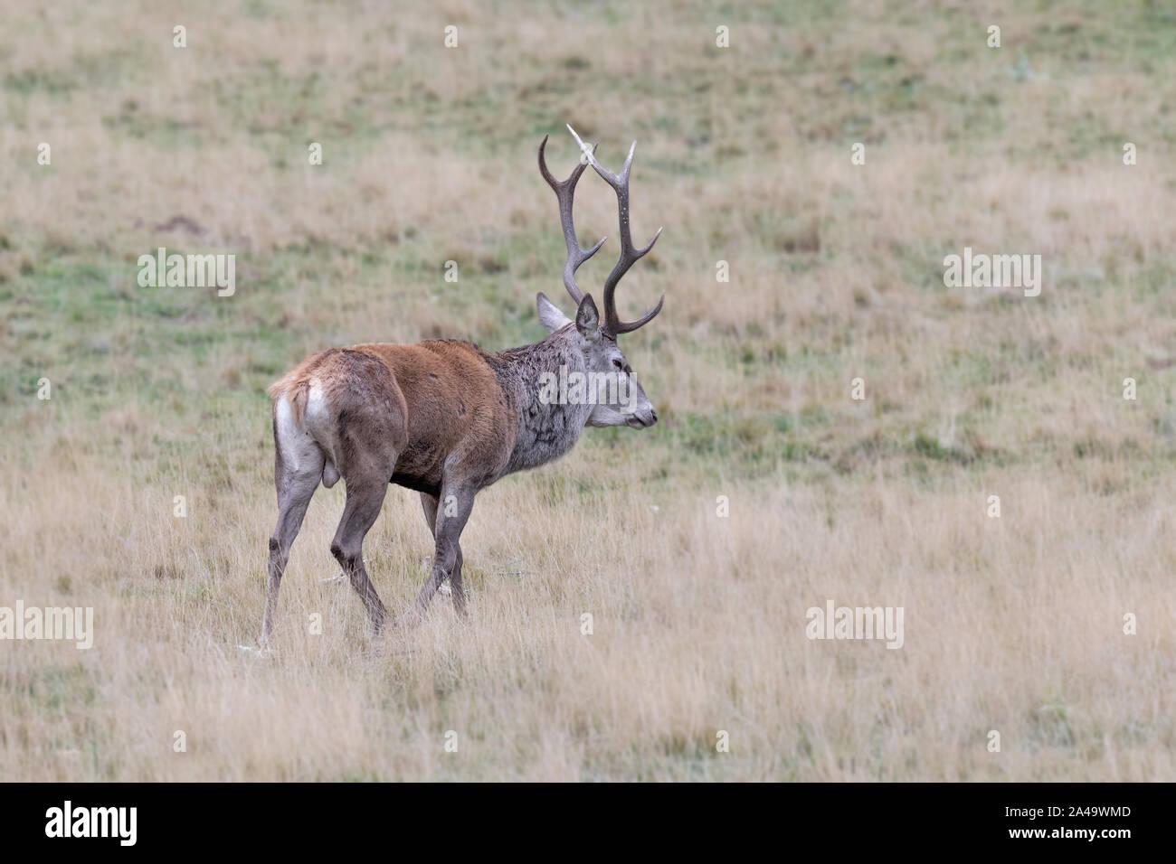 A mighty Red deer male (Cervus elaphus) Stock Photo