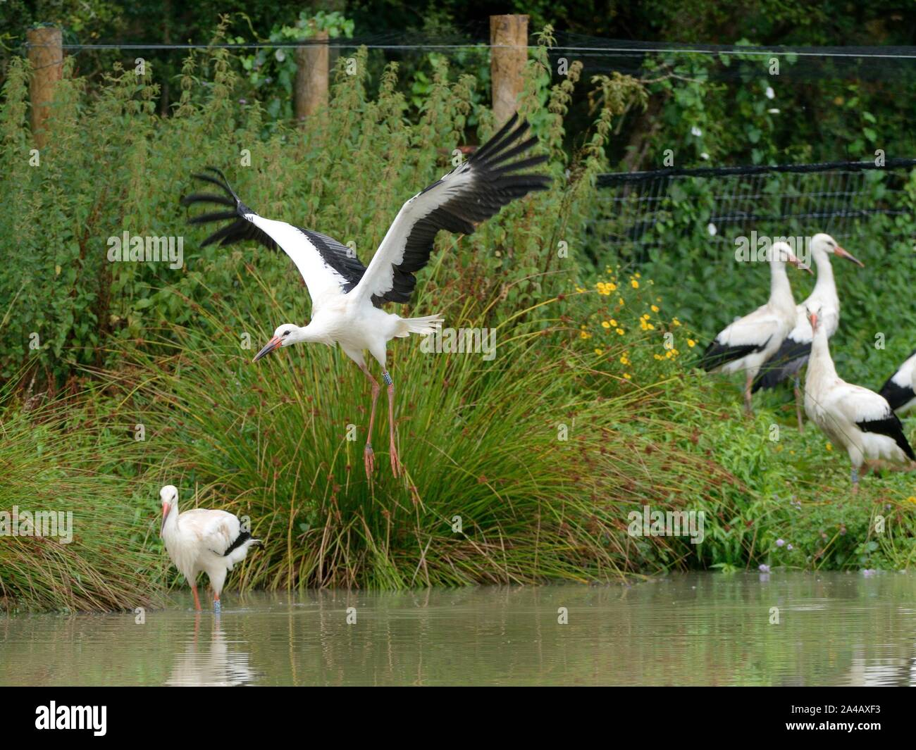 Captive-reared juvenile White storks (Ciconia ciconia) flying and walking from a temporary holding pen on release day on the Knepp Estate, Sussex, UK. Stock Photo
