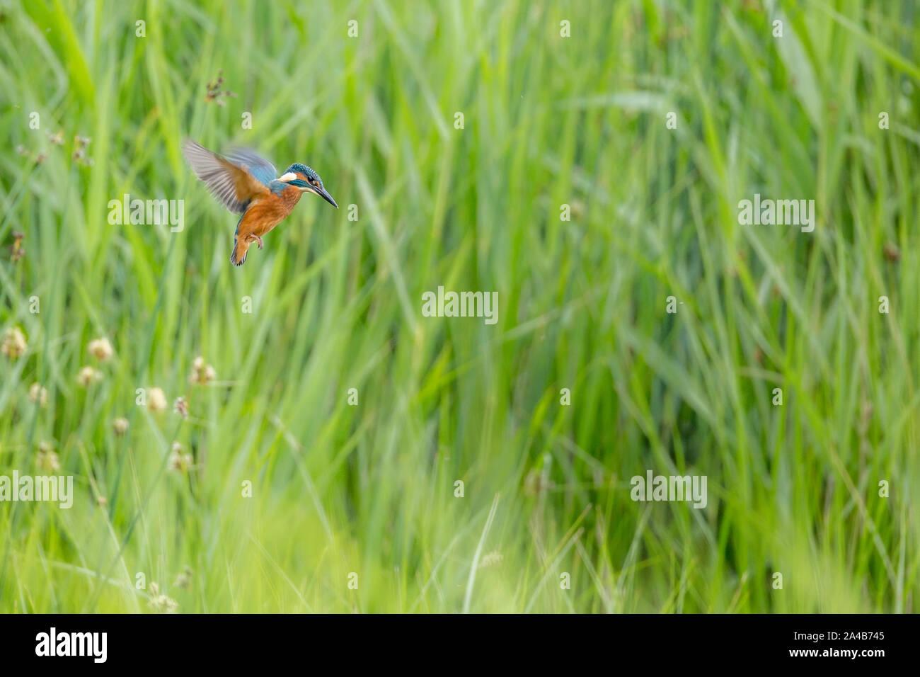 Kingfisher hovering Stock Photo