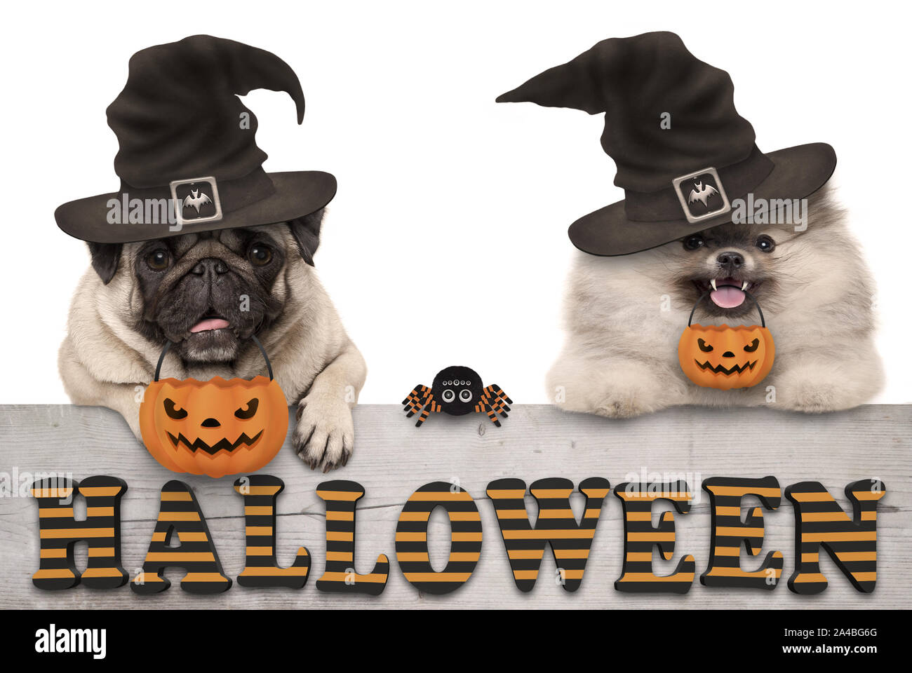 cute halloween puppy dogs - pug and pomeranian spitz - with pumpkin candy basket for trick and treat, on wooden banner with text, isolated Stock Photo