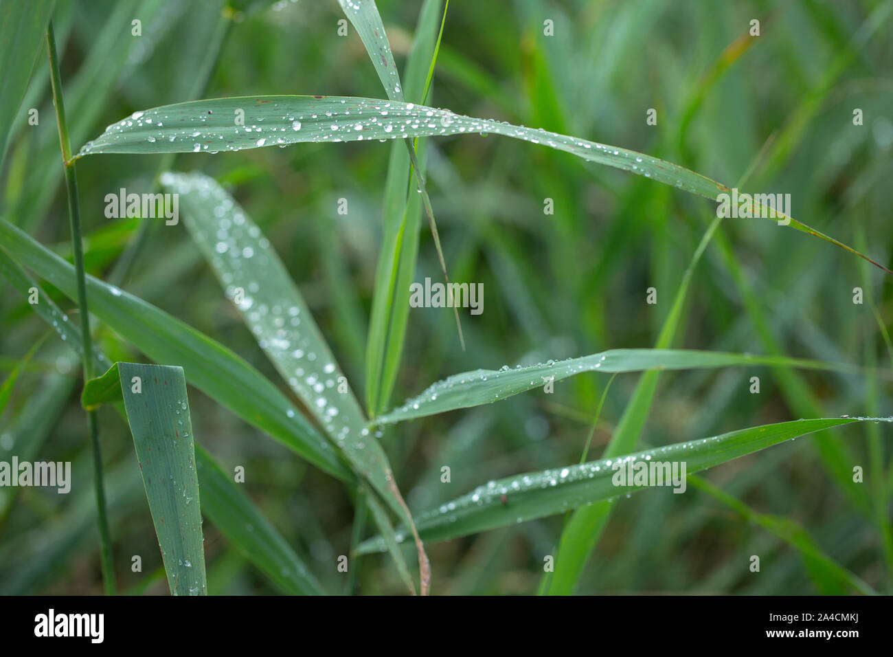 Rain drops running off Reed leaves, (Phragmites australis). Water drops. Rainfall. Surface tension. Drip, drips, dripping, run off. Weather. Climate. Stock Photo