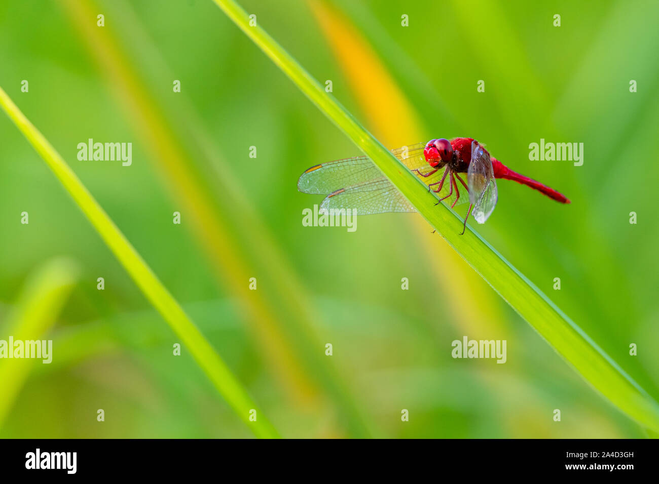 Greater Red Skimmer dragonfly perching on rice leaf with green blur background Stock Photo