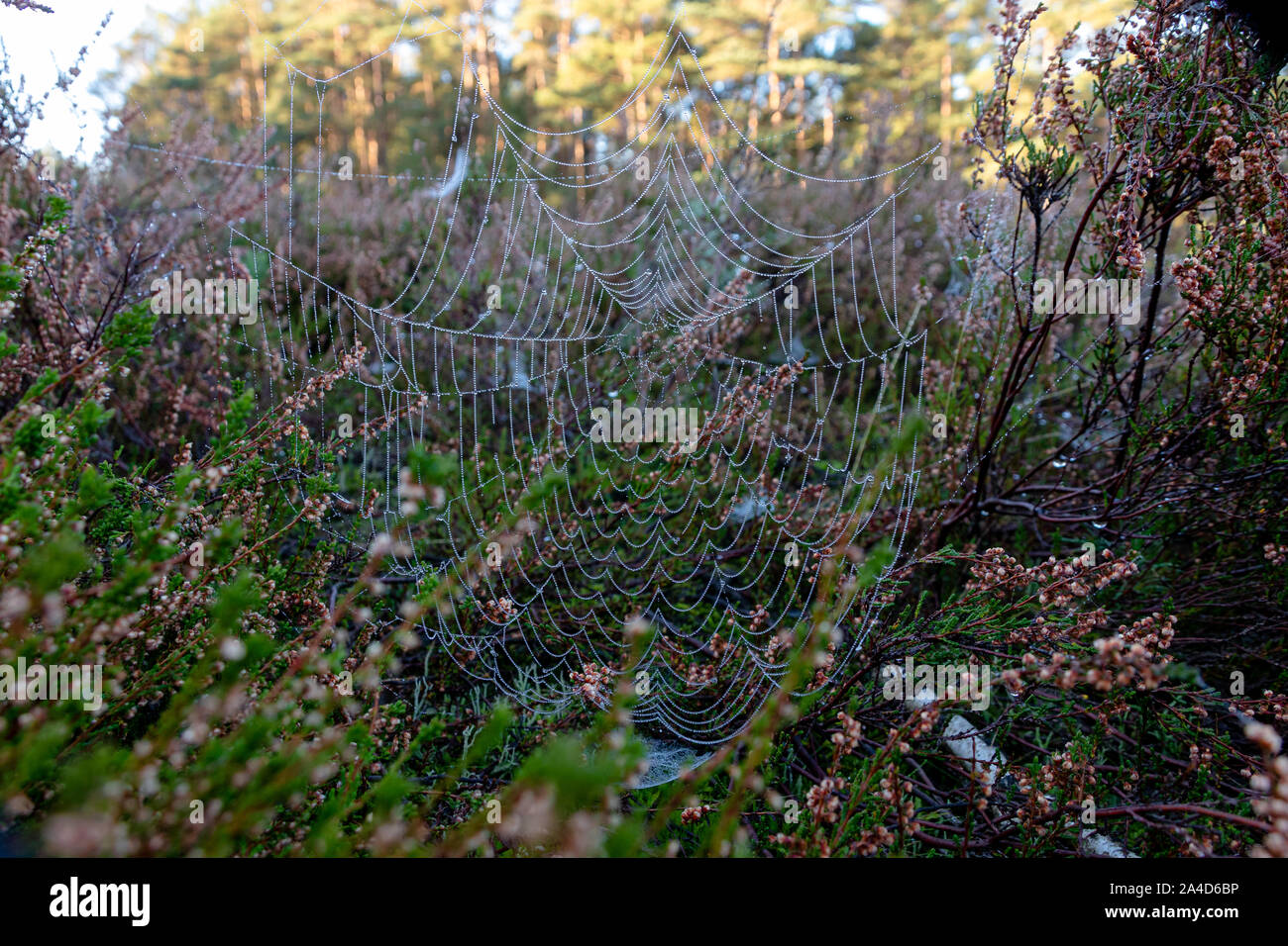 Spinnennetz zwischen Besenheide mit Tautropfen Stock Photo