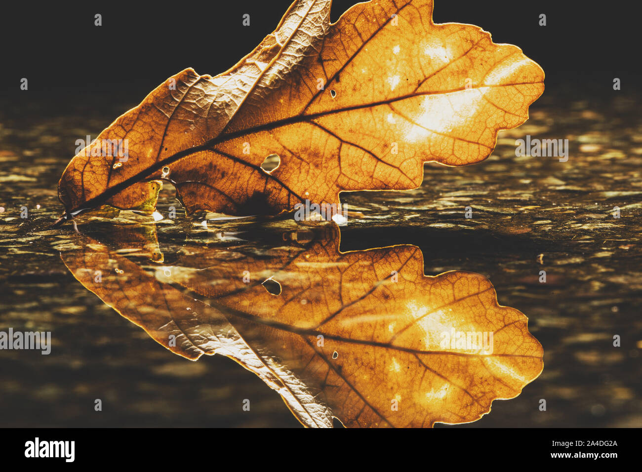 Close-up of an oak leaf in a puddle, United Kingdom Stock Photo