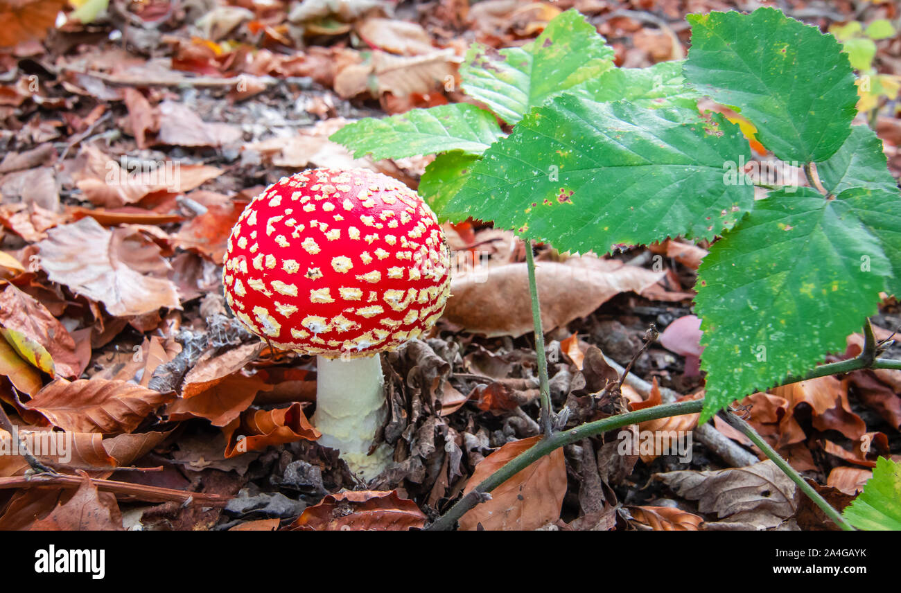 Red poisonous mushroom in autumn forest. Amanita Muscaria. Stock Photo
