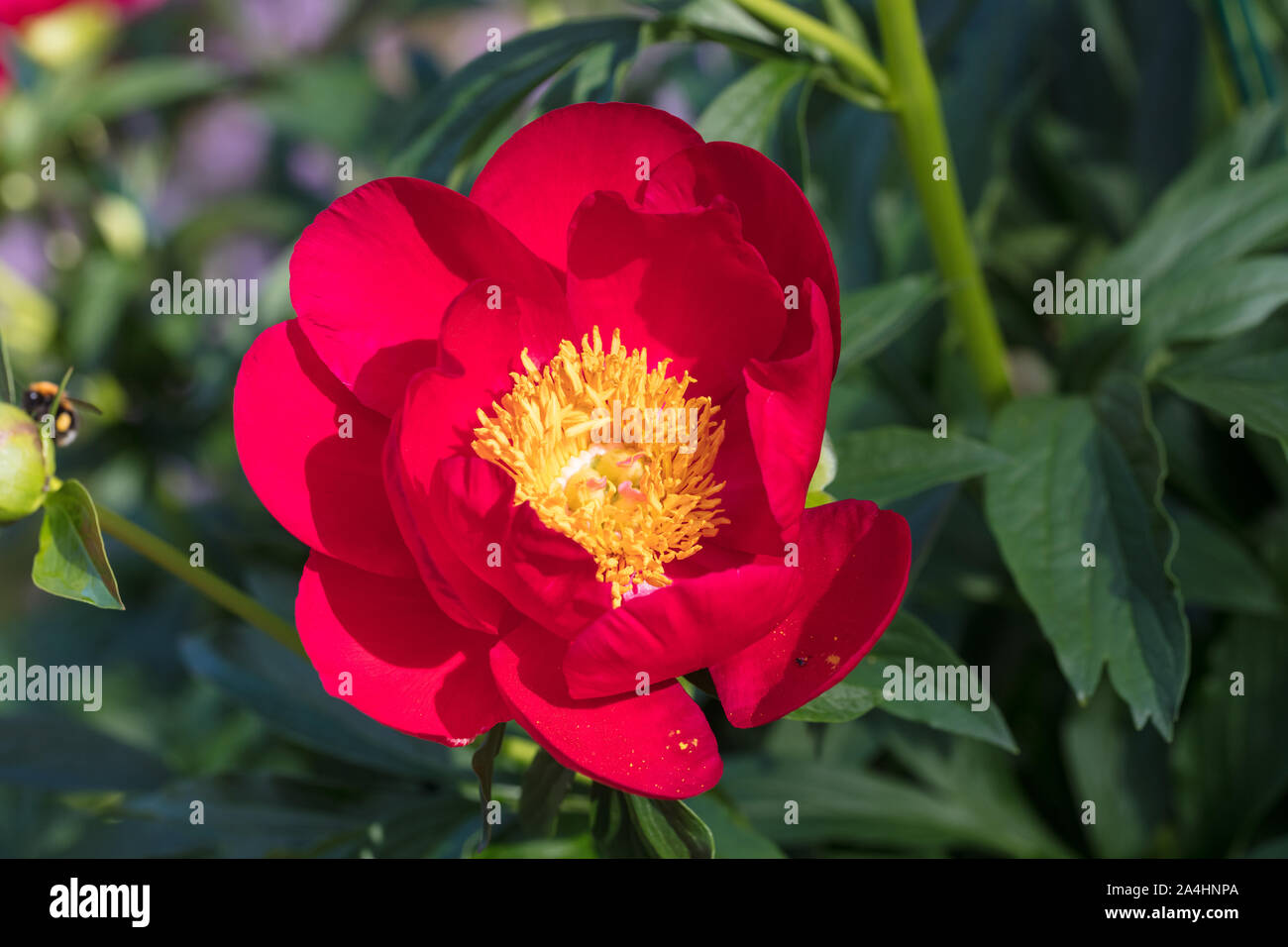 'Scarlett O'Hara' Common garden peony, Luktpion (Paeonia officinalis x Paeonia lactiflora) Stock Photo