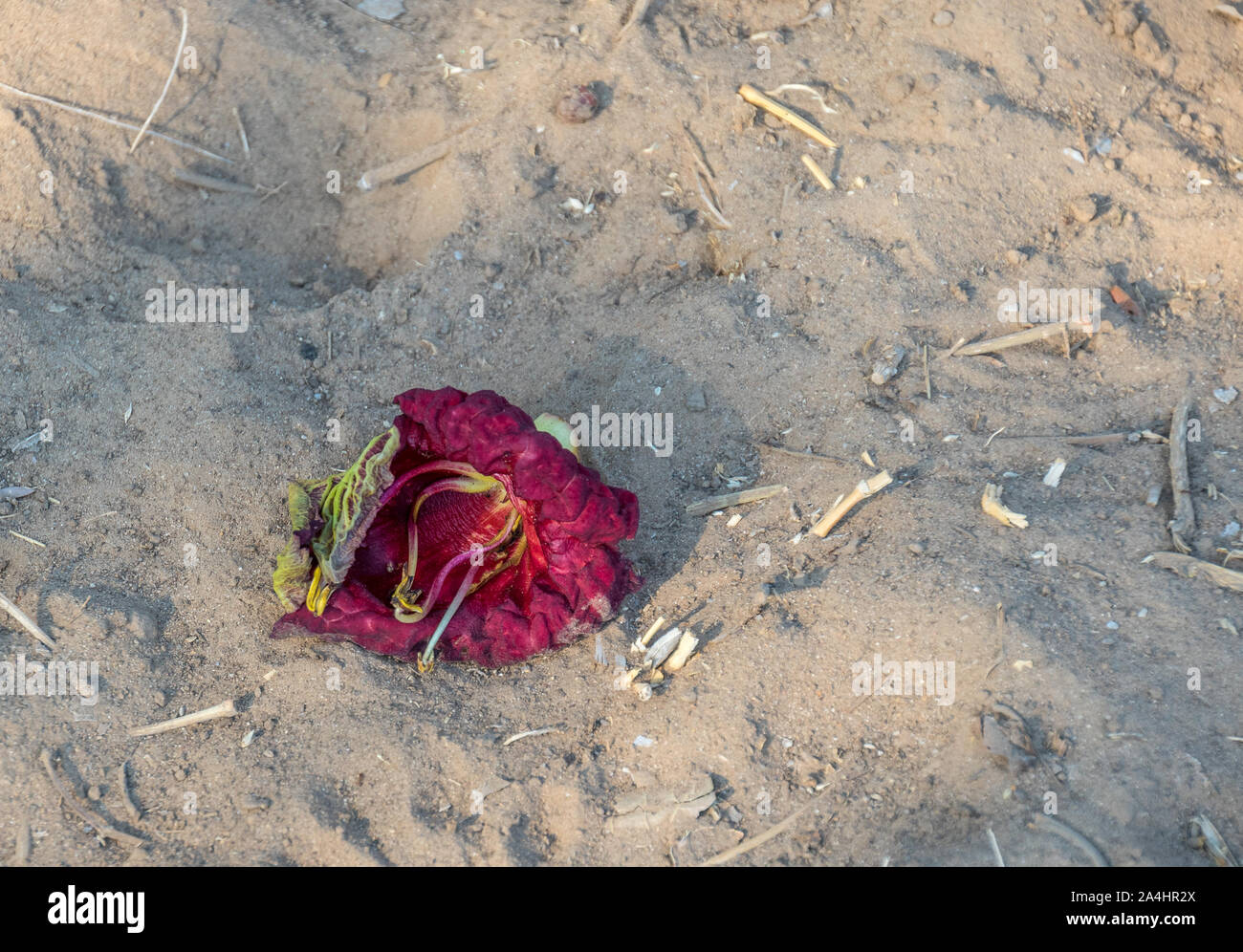 The dying deep red flower of a sausage tree isolated on the dry sand image with copy space Stock Photo