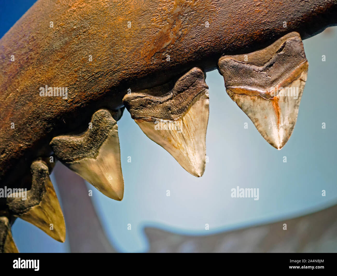 Close up of a life sized representation of Megalodon teeth attached to the jaw on exhibit at the Texas State Aquarium in Corpus Christi, Texas USA. Stock Photo
