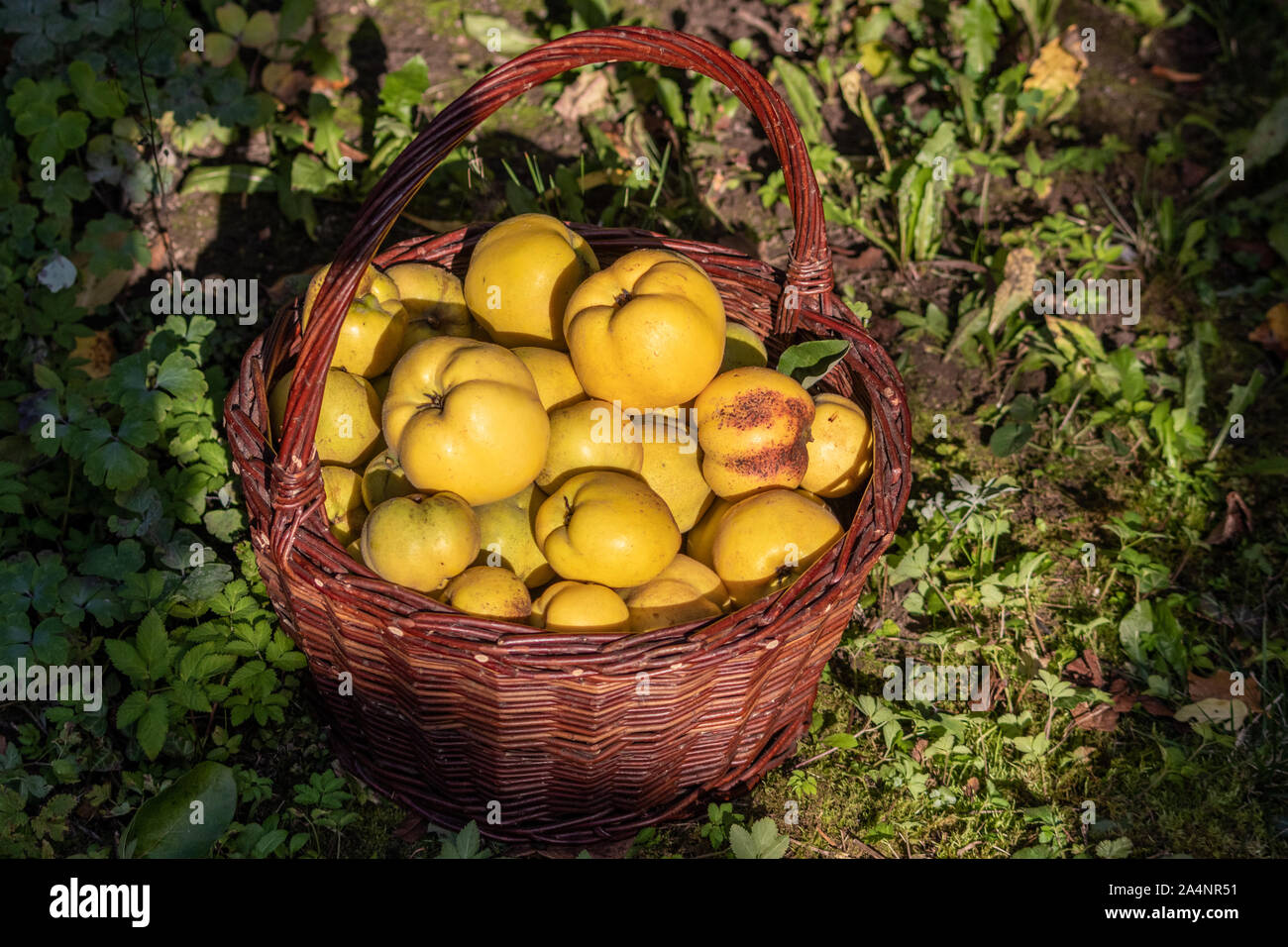 Wicker basket full of ripe quinces harvested in autumn Stock Photo