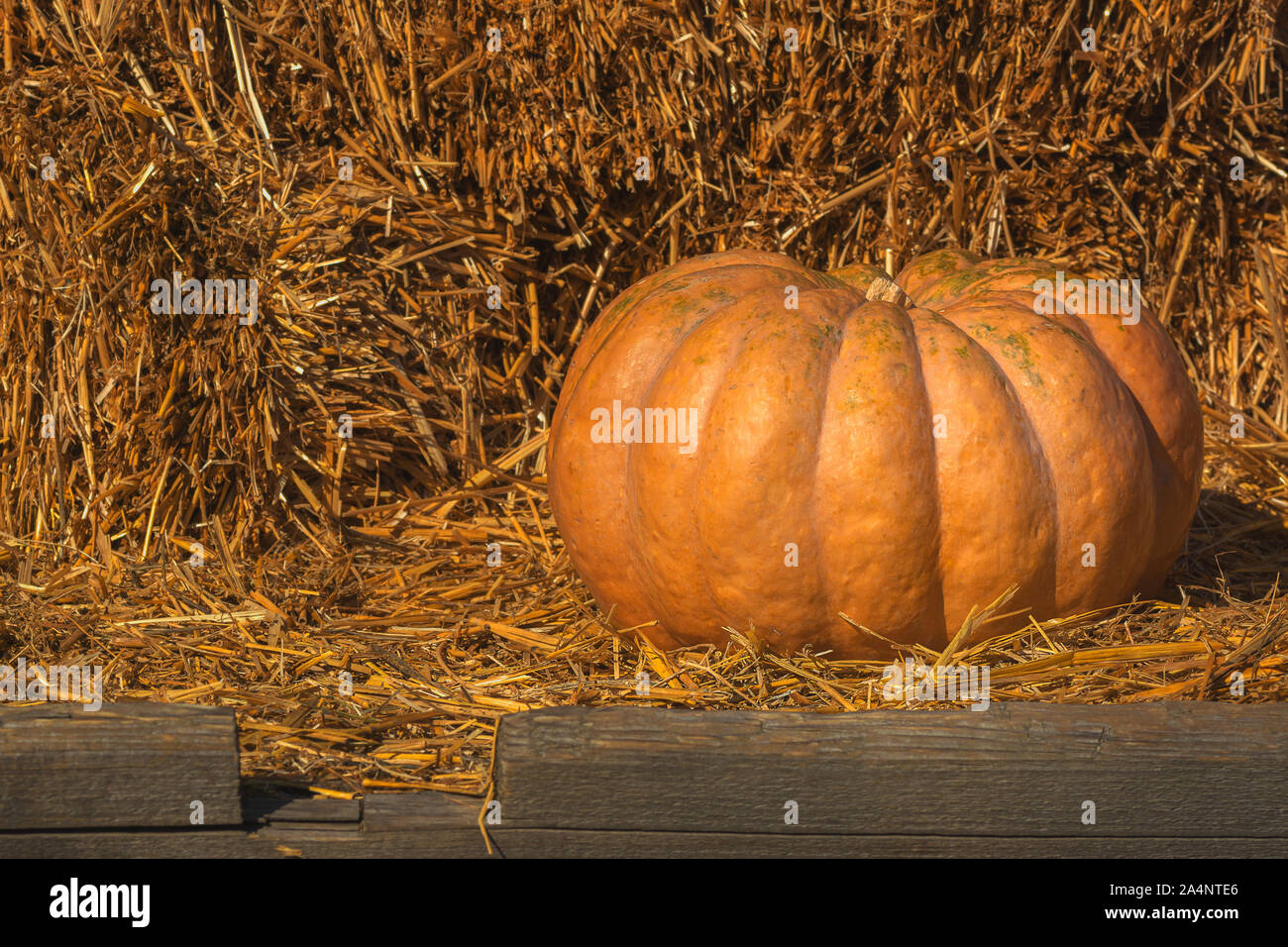 big pumpkin on a background of a stack of straw selective focus Stock Photo