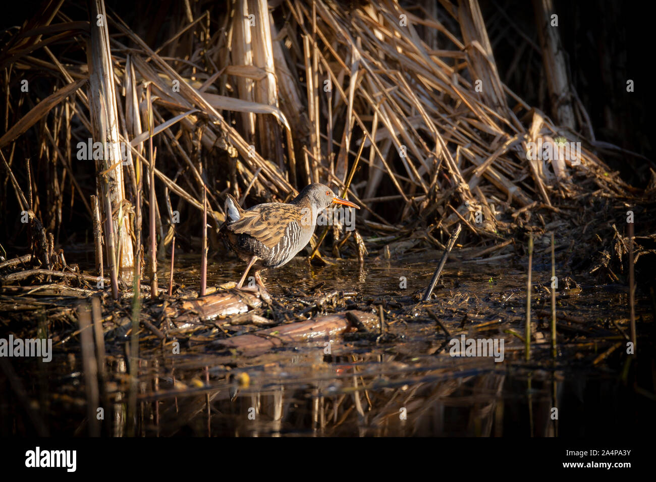Water Rail on edge of reed bed Stock Photo