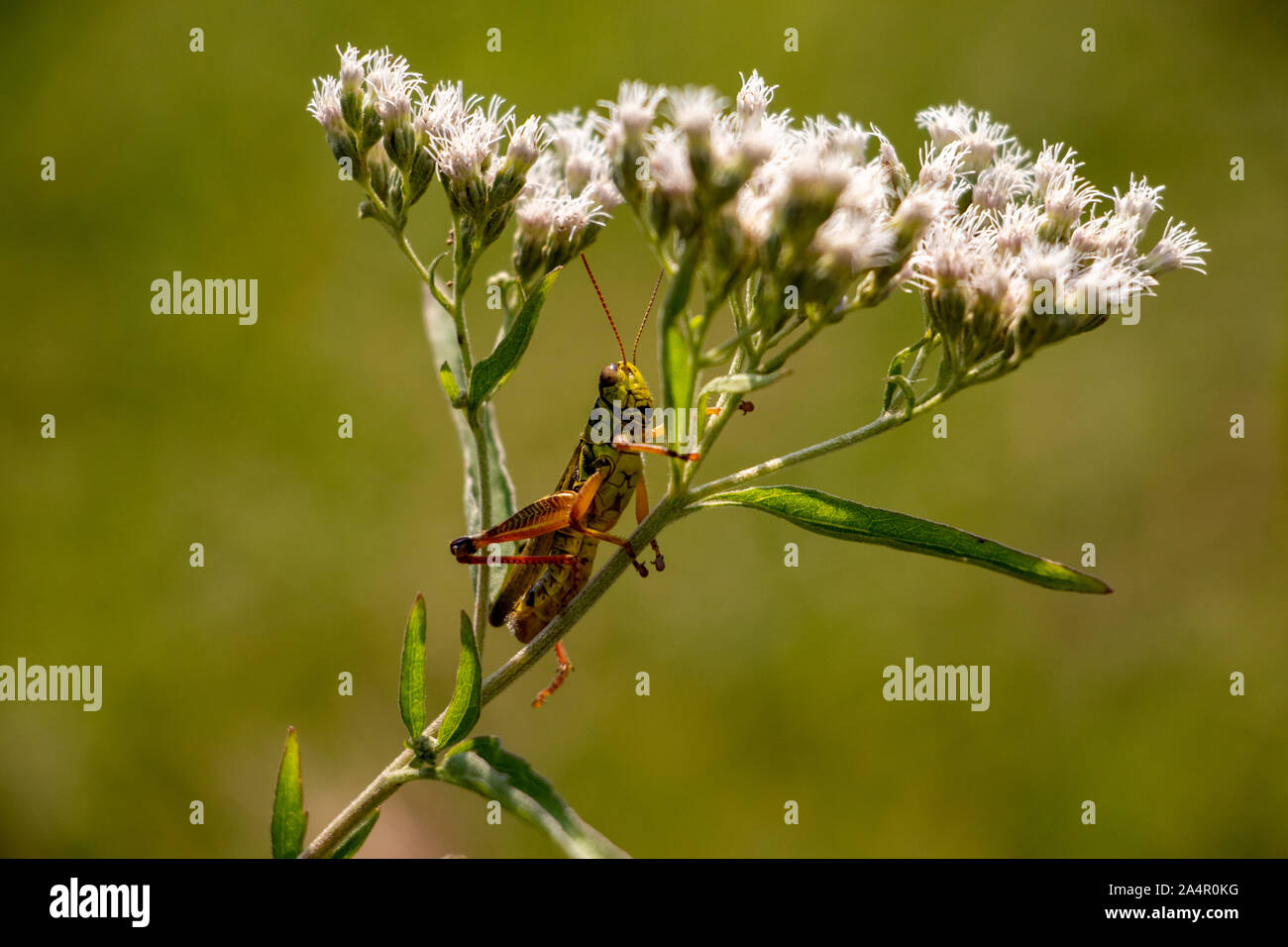 Grasshopper relaxing on a flower Stock Photo