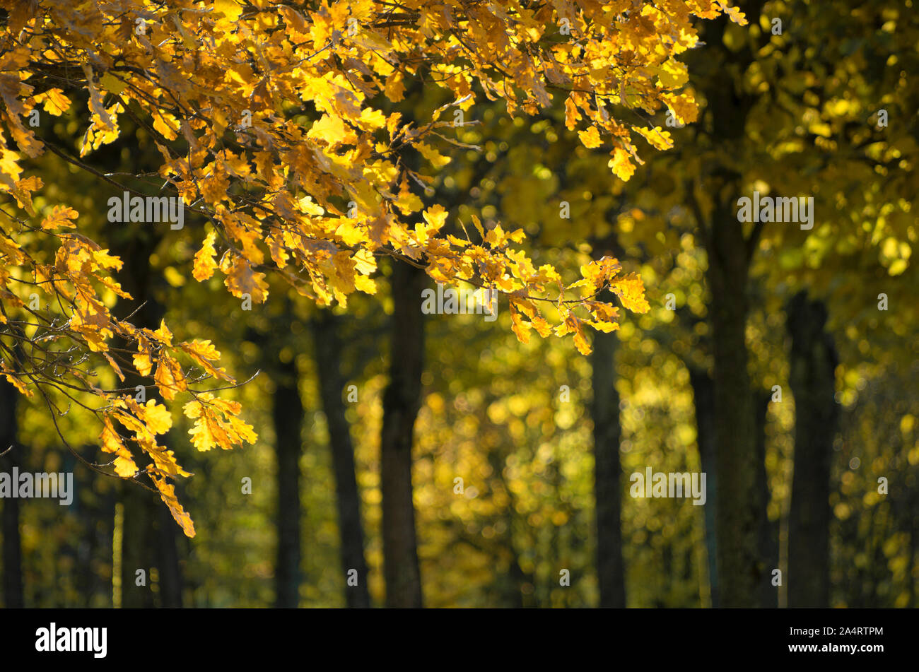 Sunlit golden oak leaves on a clear Indian summer day Stock Photo