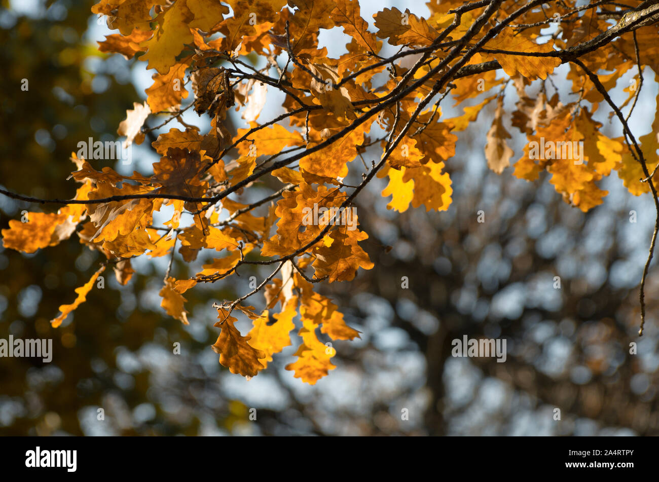 Sunlit oak branch with yellow leaves in Indian summer on a blurred background Stock Photo