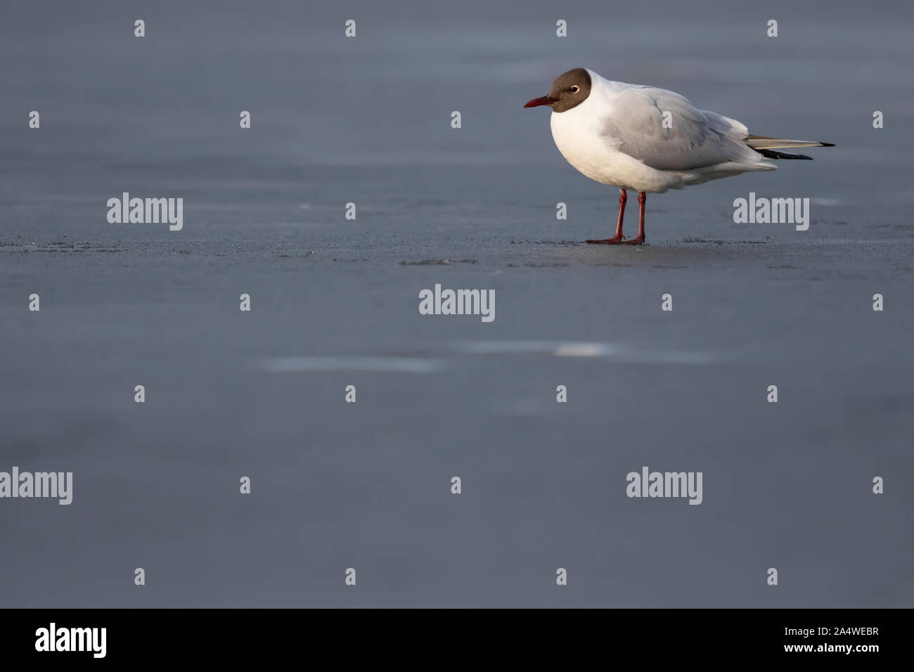 Adult Black-headed Gull (Chroicocephalus ridibundus) standing and resting on the ice on an urban lake in Stockholm, Sweden. Stock Photo