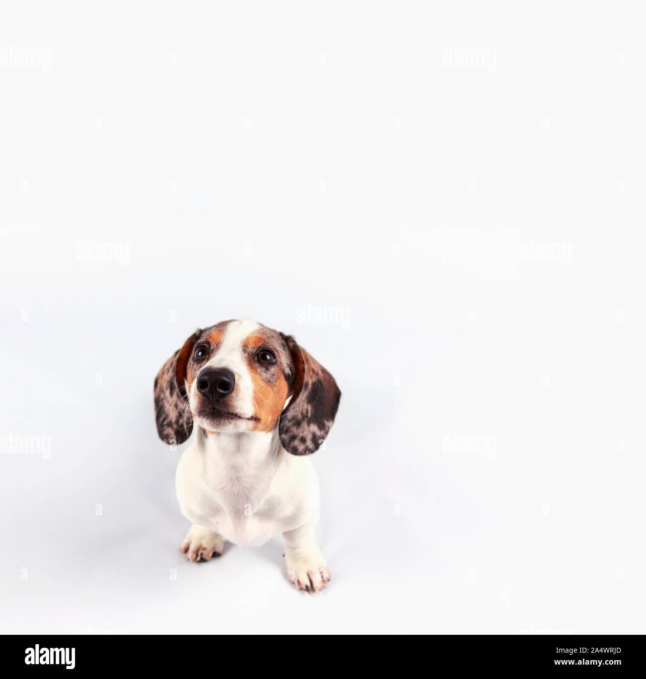 Little Cute Dachshund Puppy Dog Looking Funny On Plain White Background Stock Photo Alamy