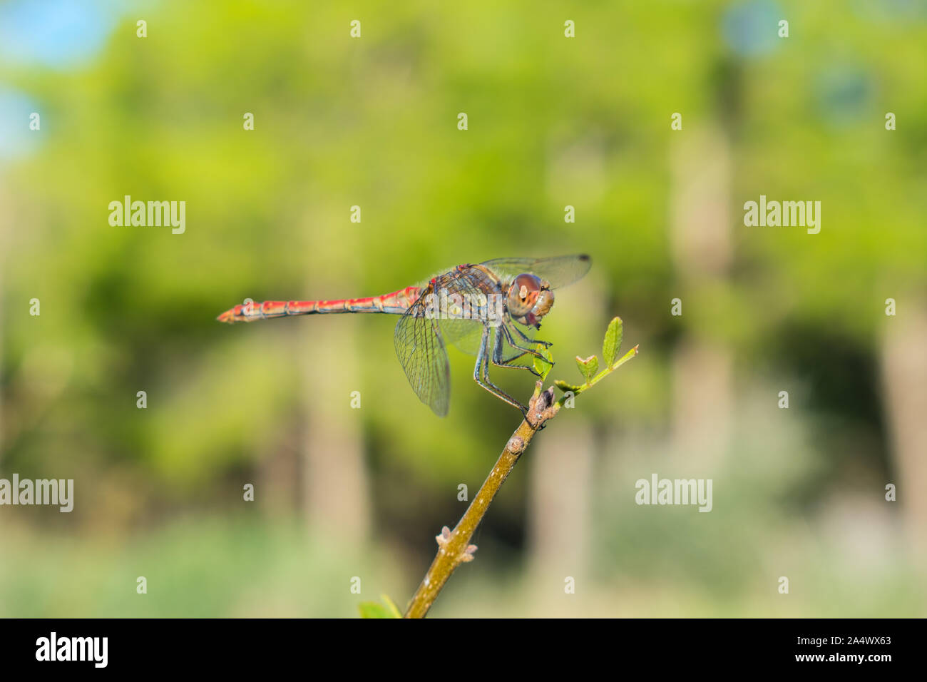 Red Veined Darter perching on a twig Stock Photo