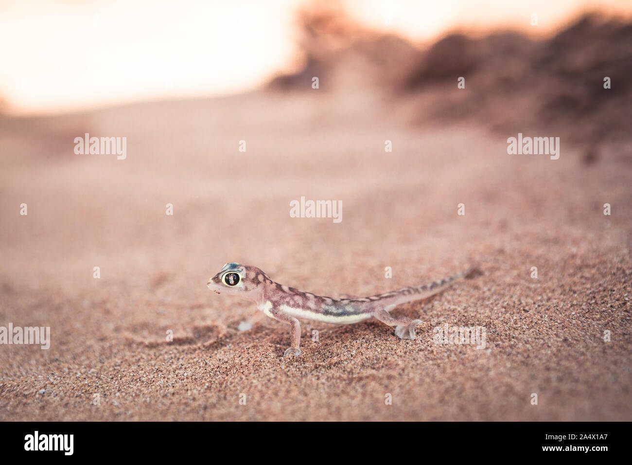 closeup of Namibia desert Palmato Gecko Stock Photo