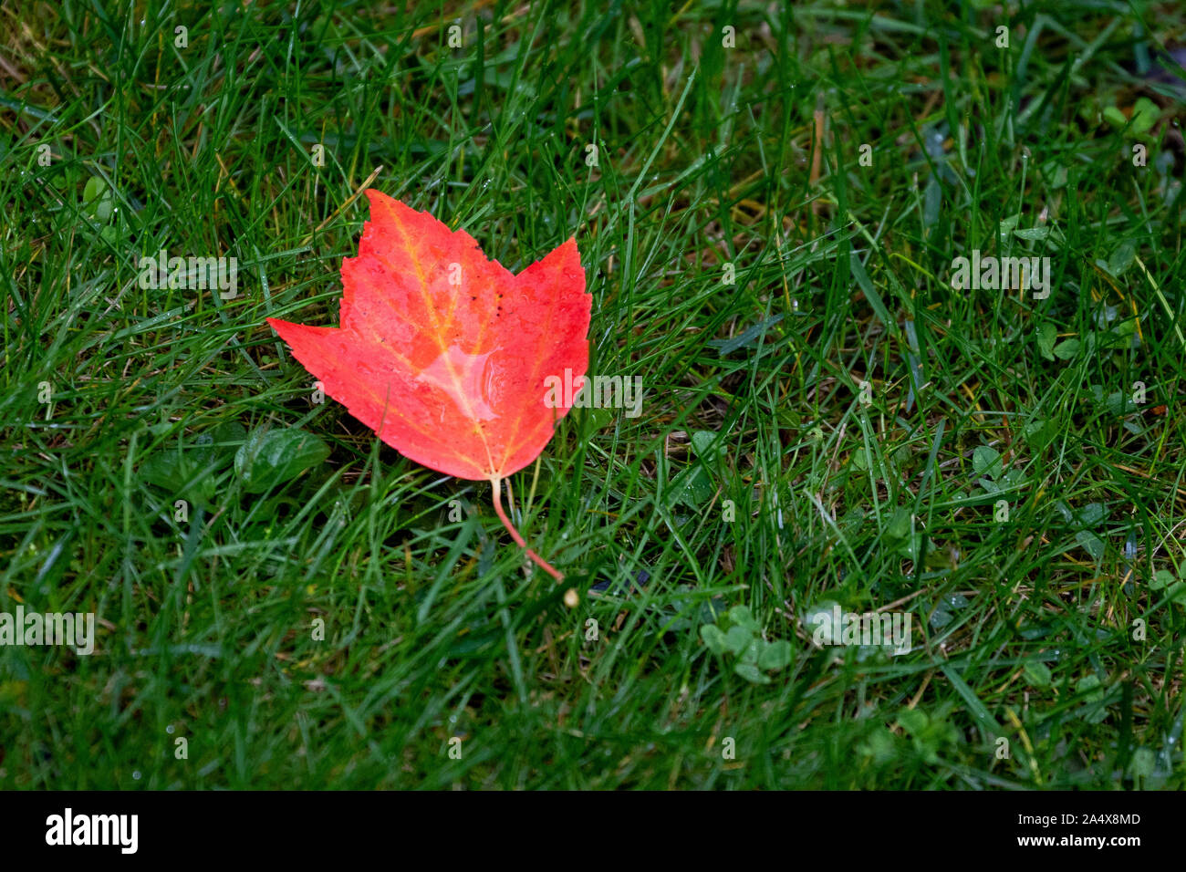 Leaves On A Maple Tree Start To Turn Red In The Fall Stock Photo