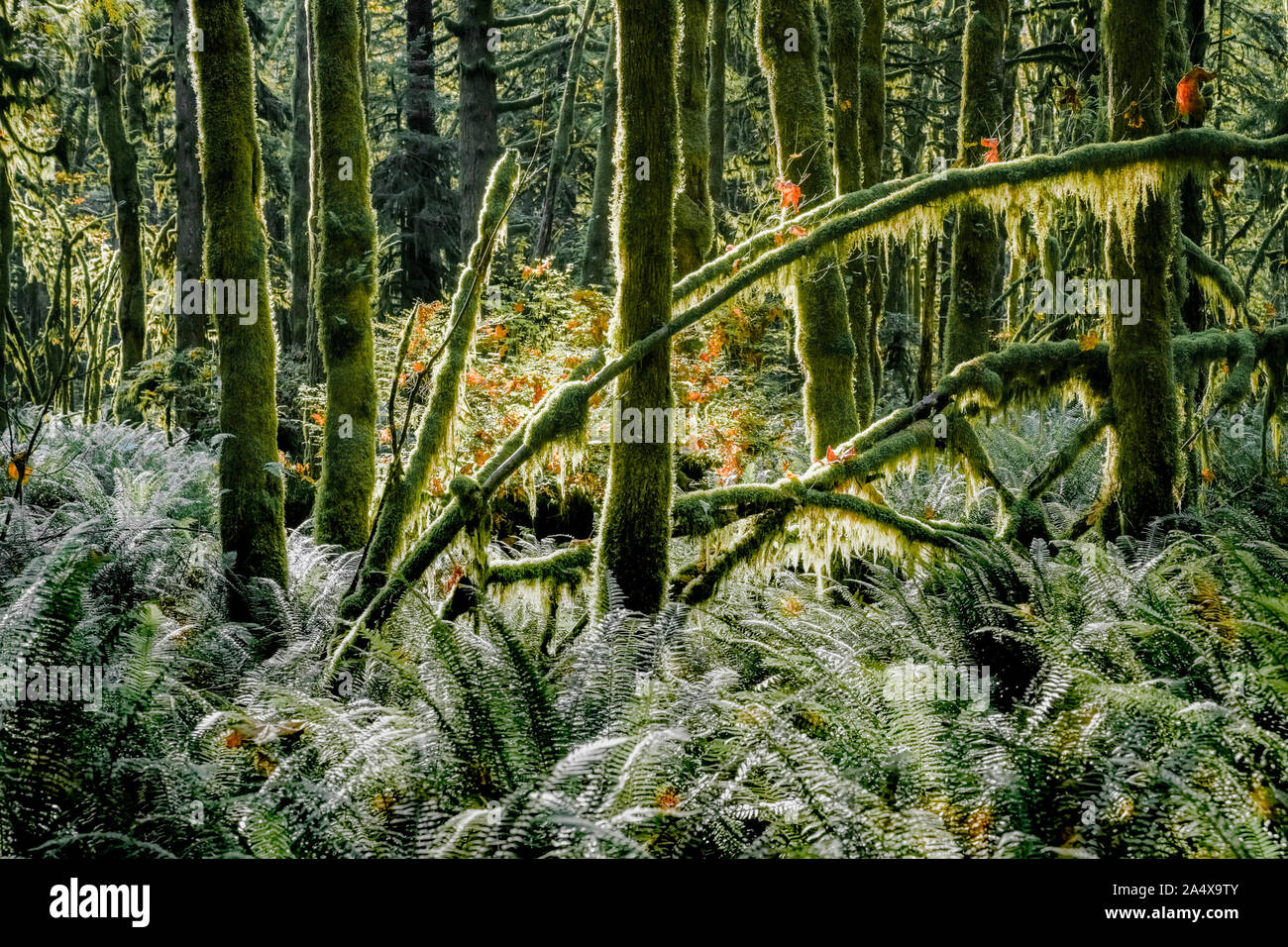 Western sword fern understory, previously logged, second growth forest, Golden Ears Provincial Park, Maple Ridge, British Columbia, Canada Stock Photo