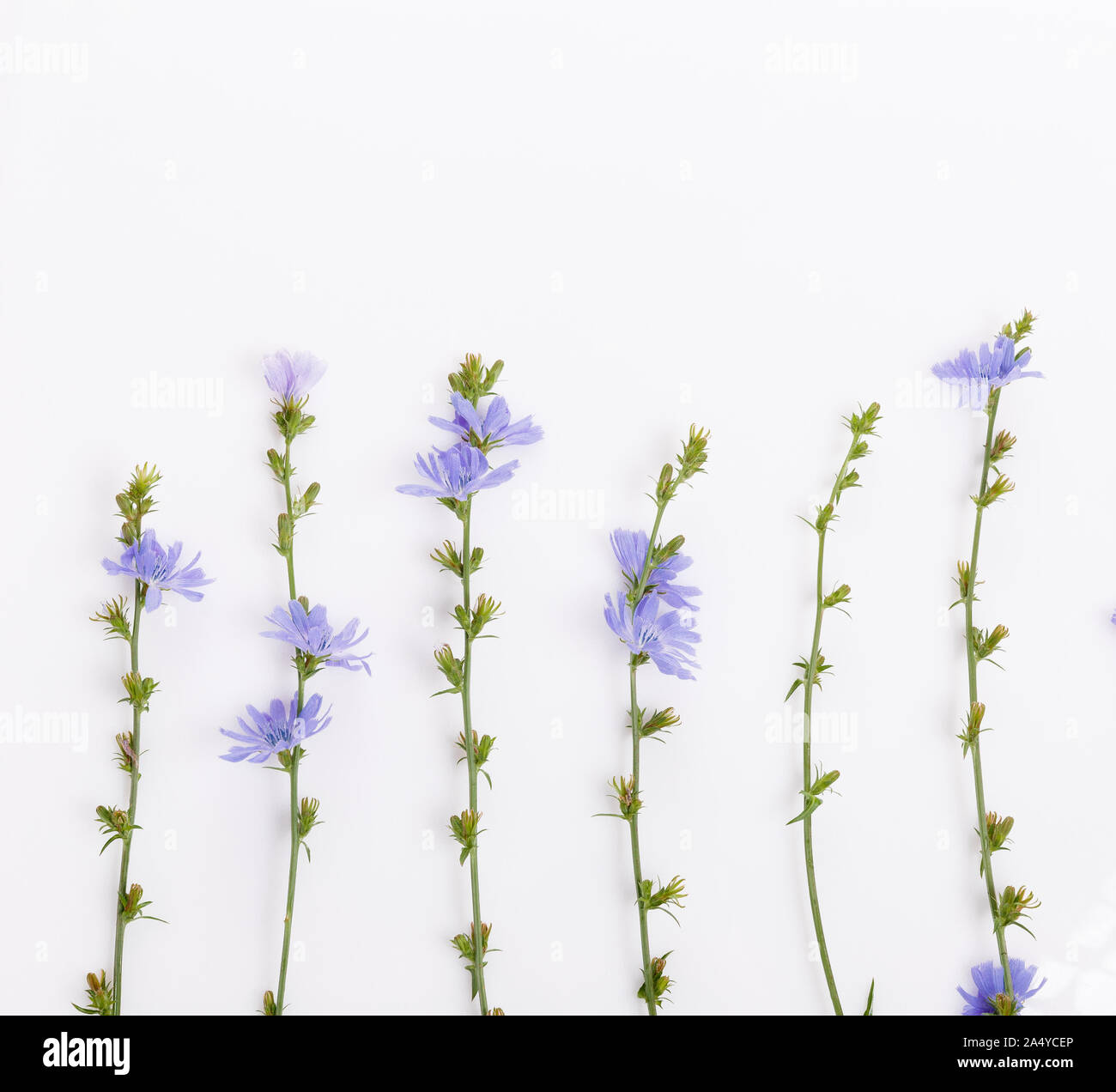 Cichorium intybus - common chicory flowers isolated on the white background Stock Photo