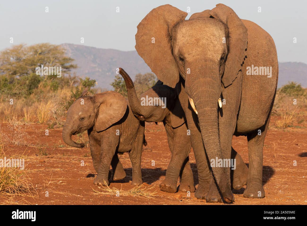 African elephants (Loxodonta africana), Zimanga game reserve, KwaZulu-Natal, South Africa Stock Photo