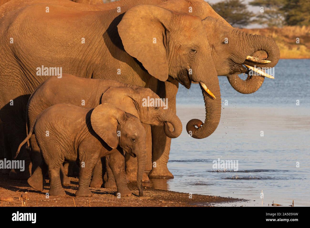 African elephants (Loxodonta africana) drinking, Zimanga game reserve, KwaZulu-Natal, South Africa Stock Photo