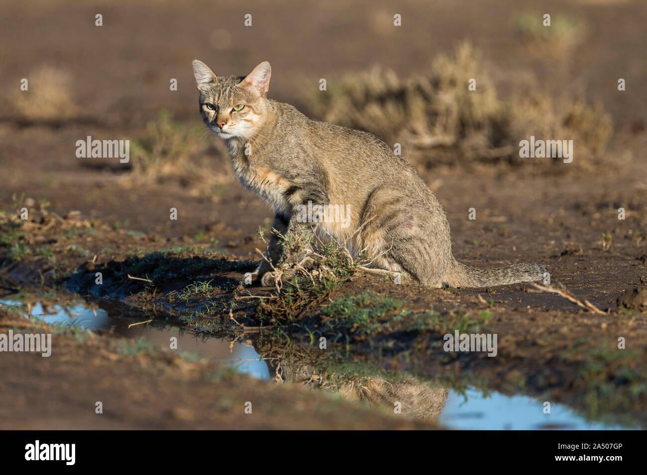 African wildcat (Felis lybica), Kgalagadi Transfrontier Park, South Africa, Stock Photo