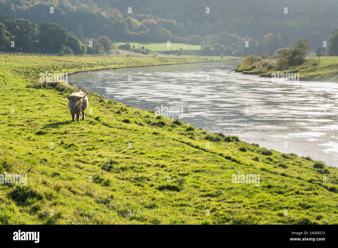 Highland cattle, Oberweser, Weser Uplands, Weserbergland, Hesse, Germany Stock Photo