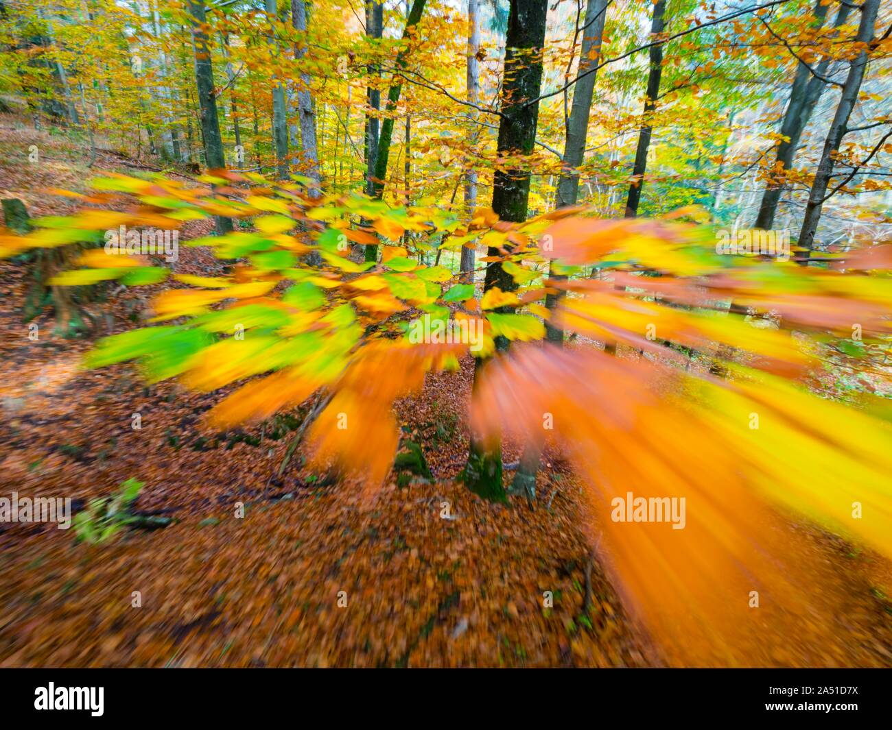 Vivid rich colors of Autumn Fall yearly season in forest near Fuzine in Croatia motion-like intentionally partial-blurry imagery portraying speed Stock Photo