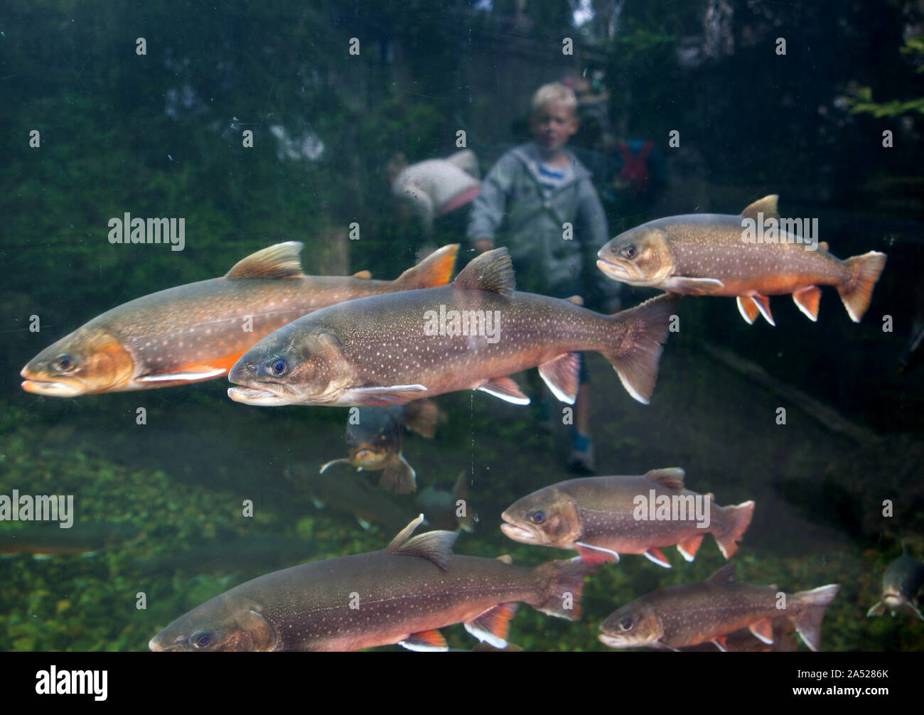 Large trout in water at Universeum, Gothenburg.Photo Jeppe Gustafsson Stock Photo