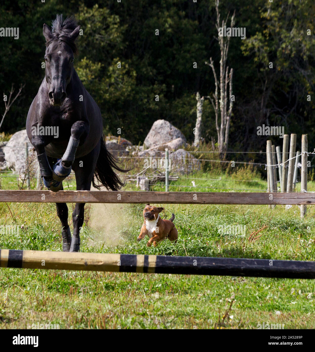 Loose jumping with horses at Fölseryds farm. And a dog.Picture Jeppe Gustafsson Stock Photo