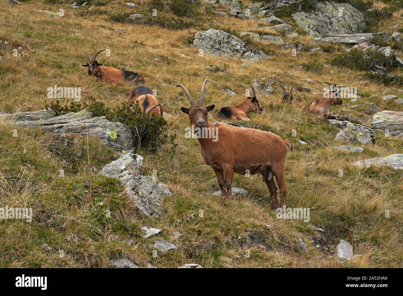 Goat in the mountains in South Tyrol Stock Photo