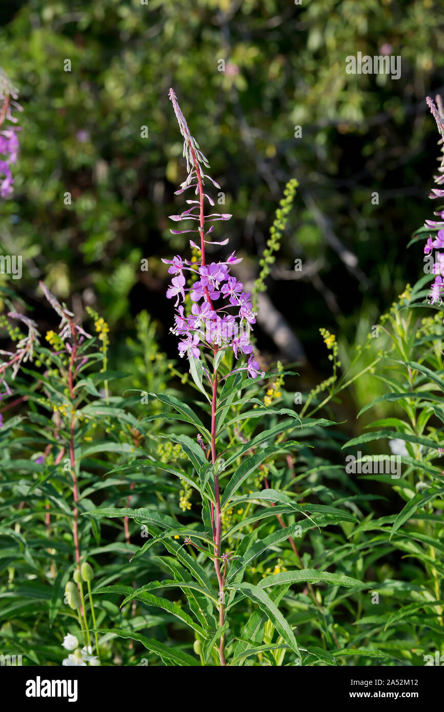 Fireweed, Chamaenerion angustifolium Stock Photo