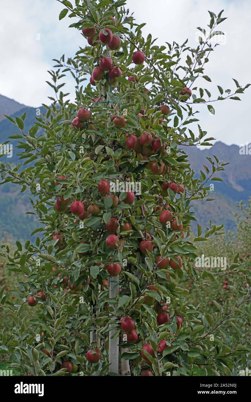 Apple apples apple harvest in South Tyrol Stock Photo