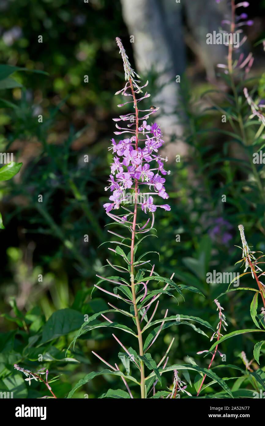 Fireweed, Chamaenerion angustifolium Stock Photo