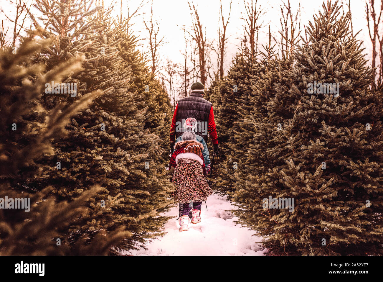 Children searching for the perfect Christmas tree with their dad Stock Photo