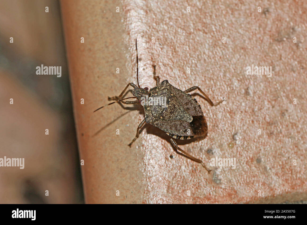 brown marmorated stink bug or shield bug Latin halyomorpha halys from the pentatomidae family native to China and Asia a serious pest in Italy and USA Stock Photo