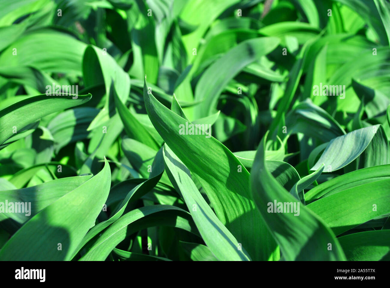 Bright green growing iris leaves close up, natural organic background top view Stock Photo