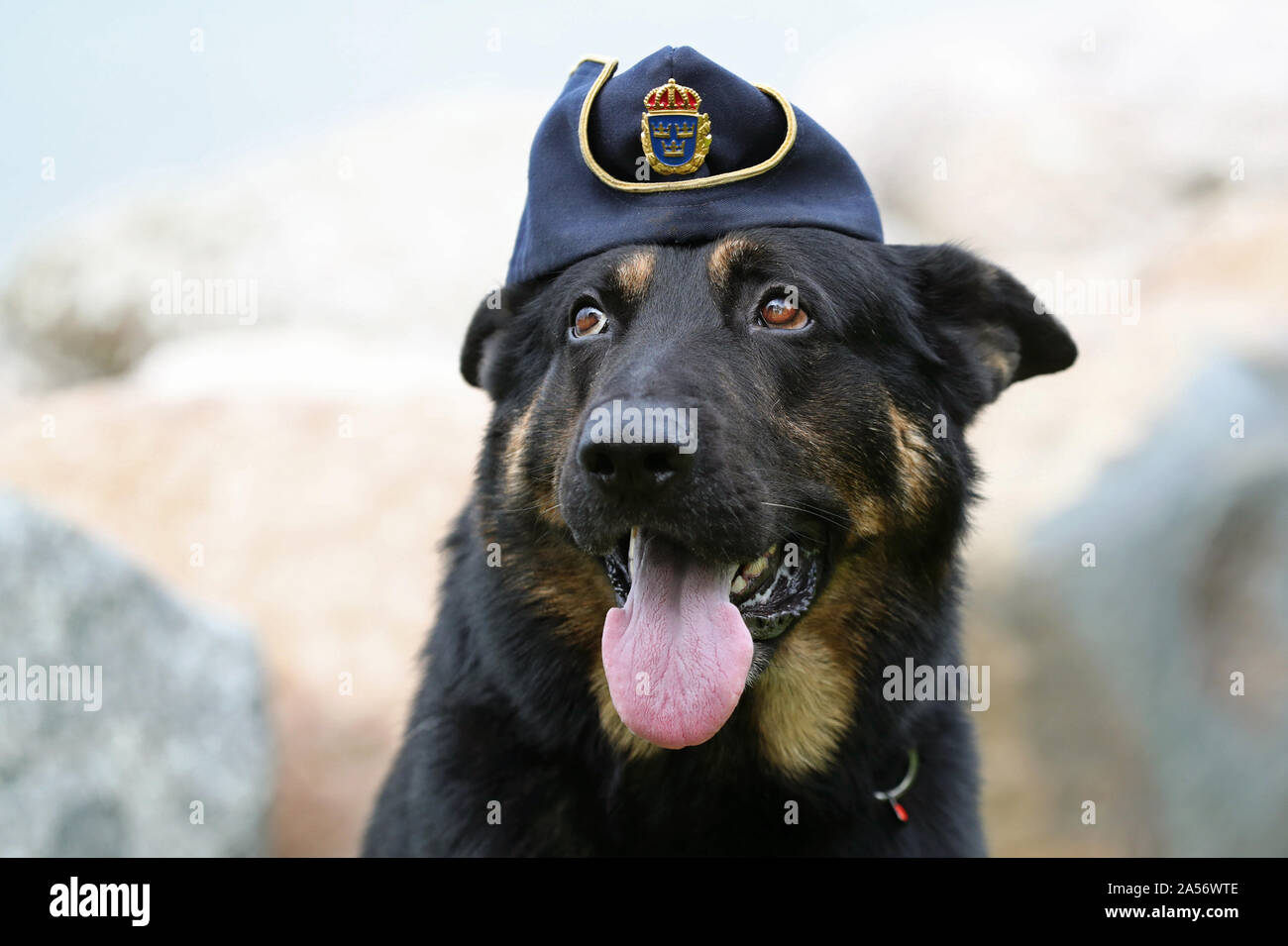 "VADSTENA 20190905Schäfern Tass, 6-year-old police dog from Lidköping, during Swedish Championships in Police-dog., which this year is held in Vadstena. A police dog, known in some English-speaking countries as a ""K-9"" or ""K9"" (a homophone of ""canine""), is a dog that is specifically trained to assist police and other law-enforcement personnel. Photo Jeppe Gustafsson Stock Photo"