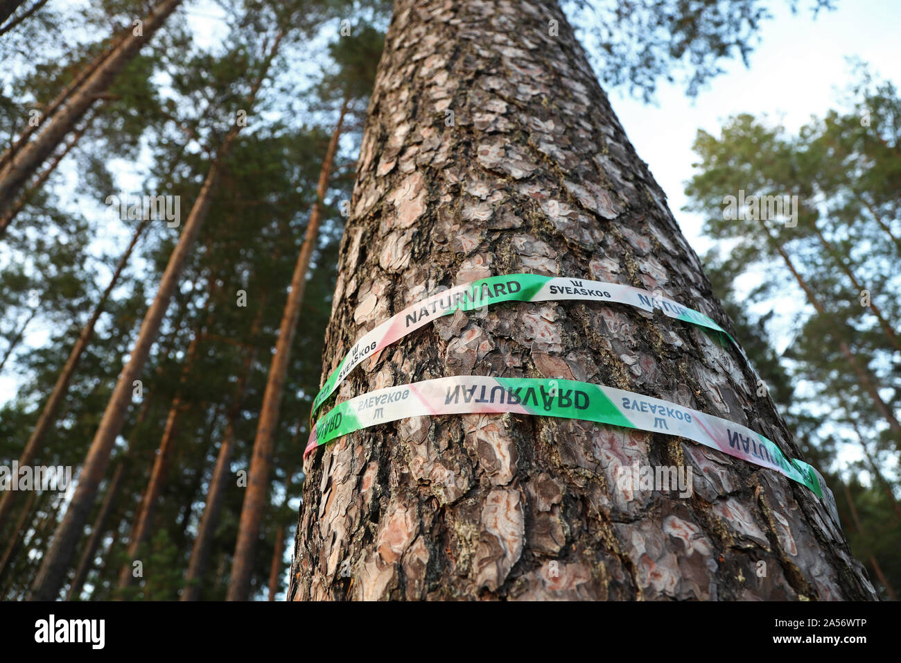 Tape on trees (pine) in a forest, where it says Sveaskog and nature conservation.Photo Jeppe Gustafsson Stock Photo