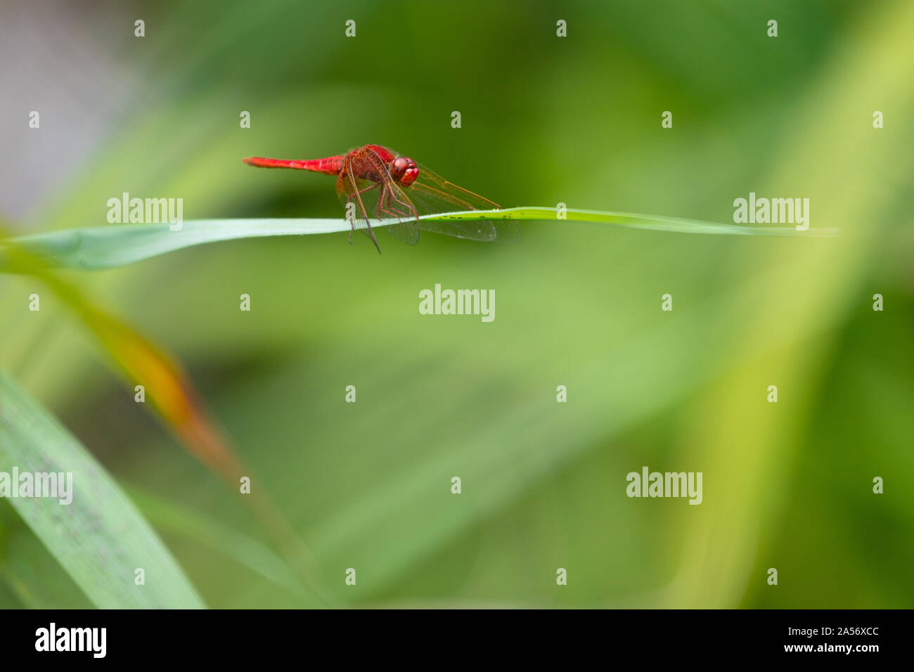 Scarlet Darter dragonly (Crocothemis erythraea), standing on a reed leaf. Stock Photo