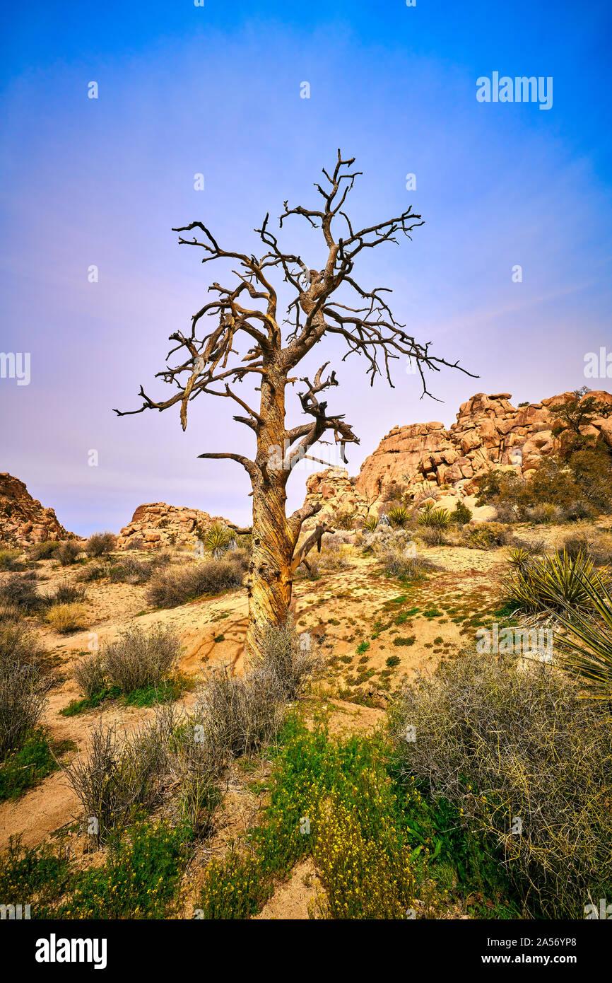 Dead pine tree at Joshua Tree National Park. Stock Photo